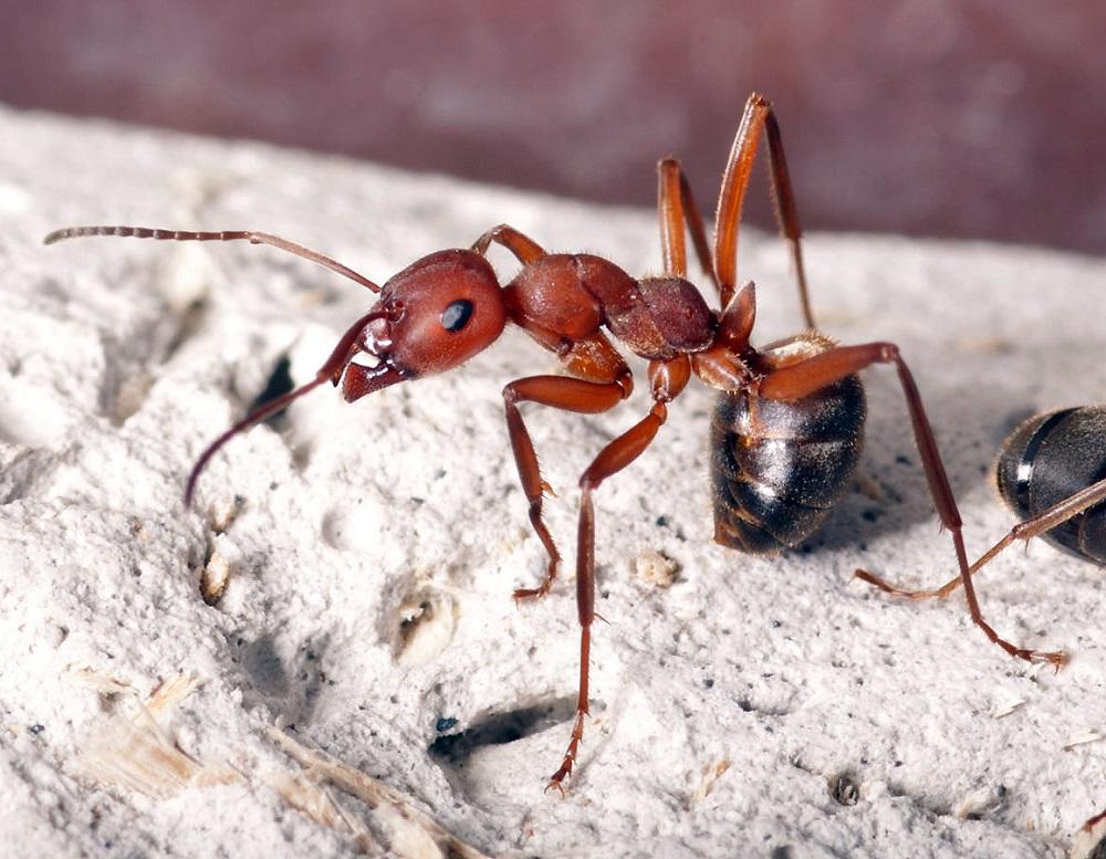 Фото муравья домашнего крупным планом