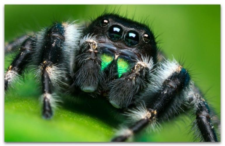 Сонник ядовитый паук