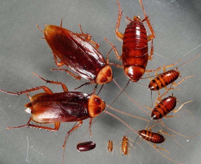 Взрослые особи рыжих тараканов и их потомки