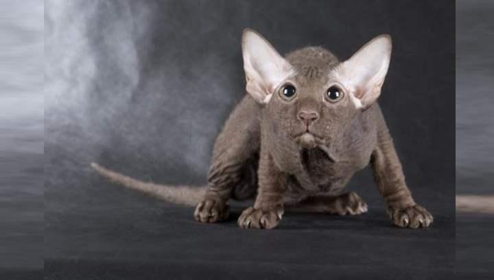 Маленький кот породы петерболд