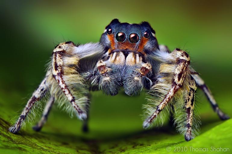 Сонник паук с большими лапами