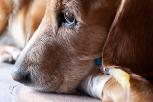 как лечить ложную беременность у собак