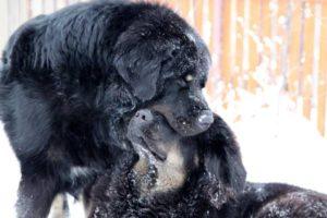 тибетские собаки