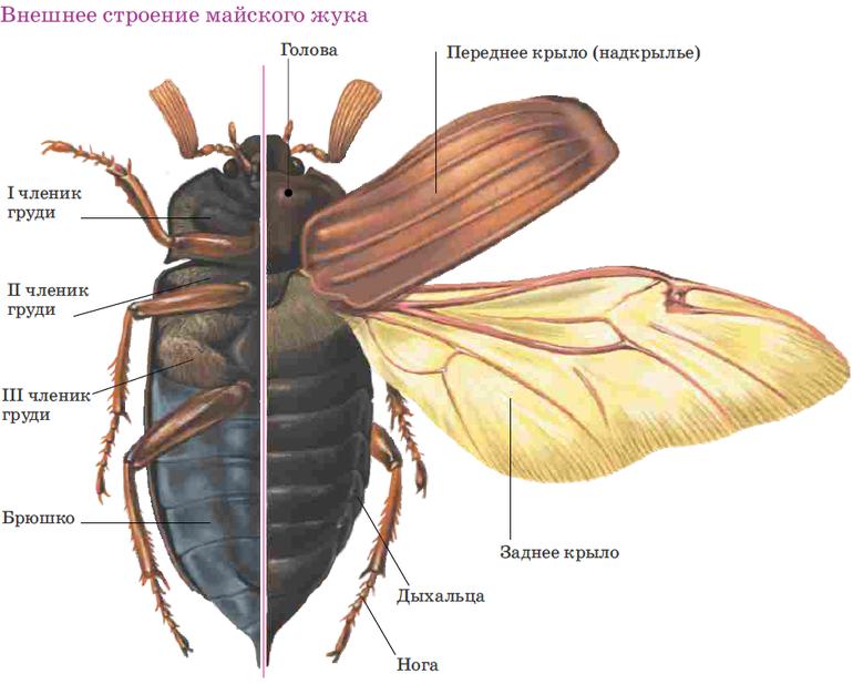 нюансы размножения и среда обитания майских жуков