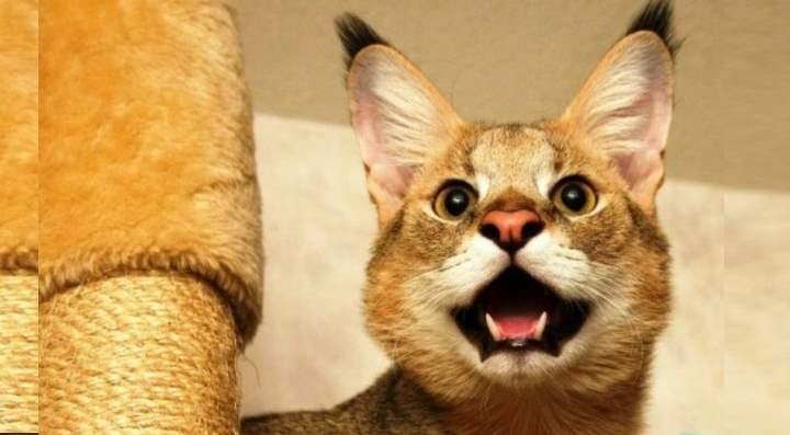 Злая кошка породы Чаузи