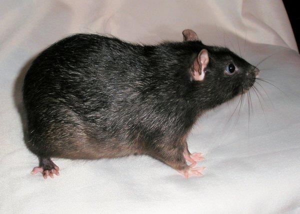Черная бесхвостая крыса