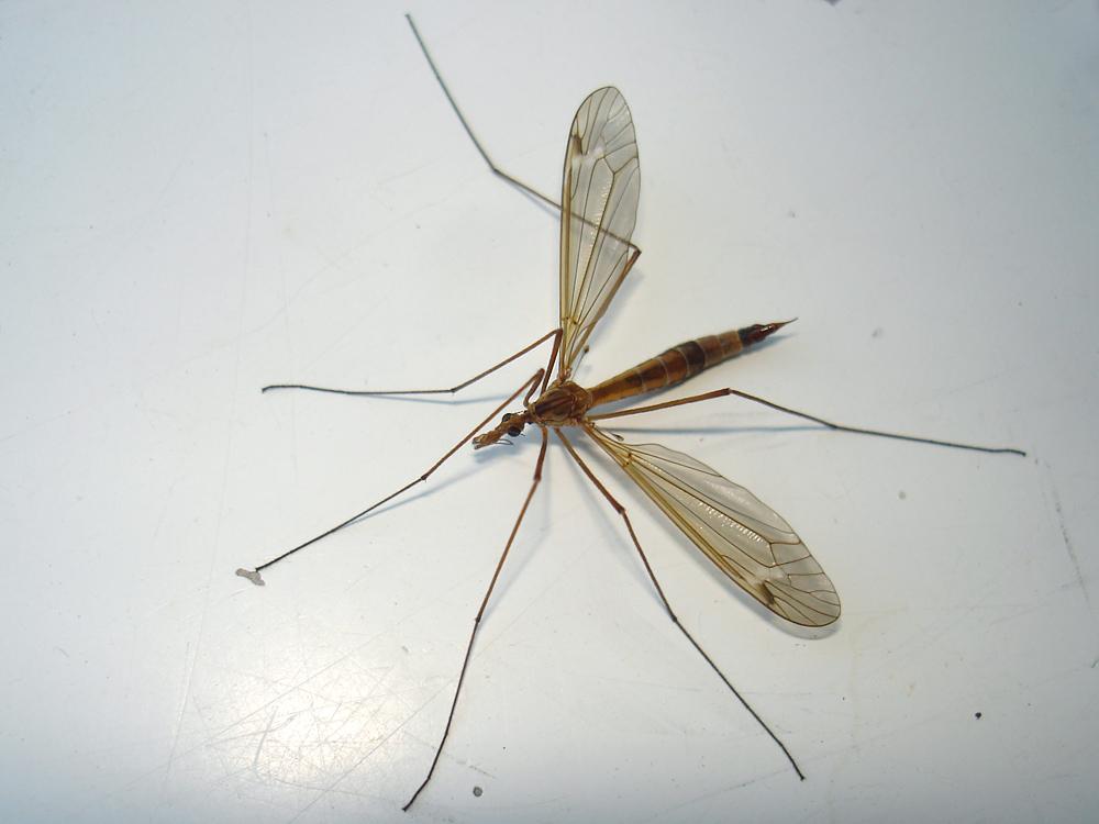 Фото малярийного комара