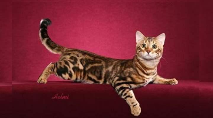 Если вы с детства мечтали о собственном тигре – уссурийский кот создан для вас.
