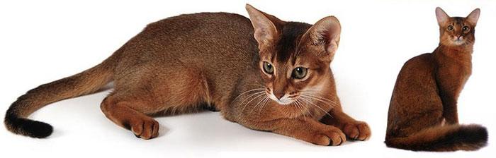 Дикие абисанские кошки