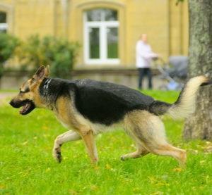 причины дисплазии суставов у собак