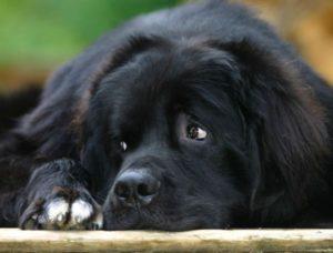 история породы собак ньюфаундленд