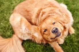 блохи у собак
