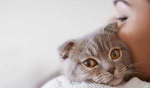 Купить шотландскую кошку