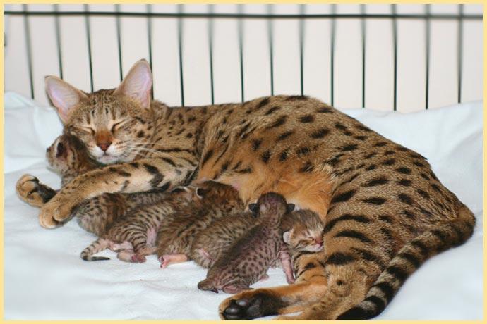 Кошка ашера с котятами