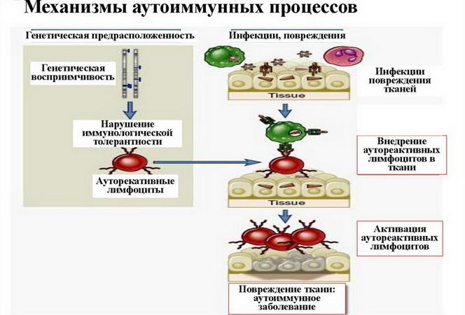 Как иммунная защита превращается в нападение