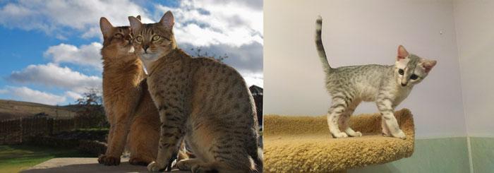 Кошки и котенок египеская мау