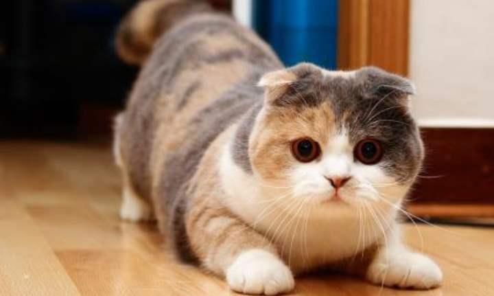 Играющий вислоухий кот
