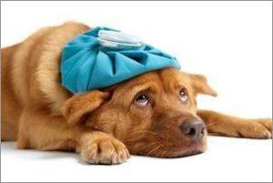 симптомы первой течки у собак