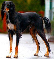 салюка собака