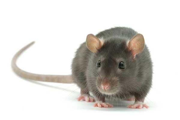 Внешний вид серой крысы
