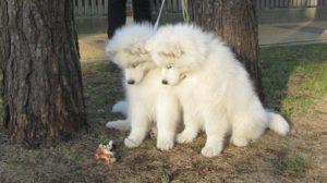щенок самоедская