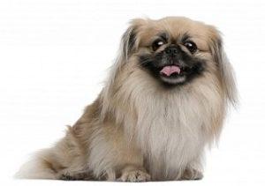порода собак пекинес