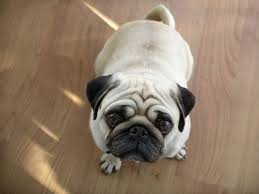 как приучить щенка мопса к туалету