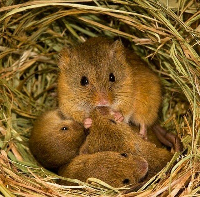 Полевые мышата в гнезде