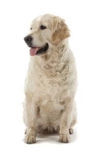 стоит ли стерилизовать собаку