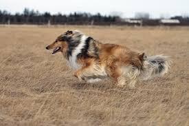 пастушья собака в королевском замке колли