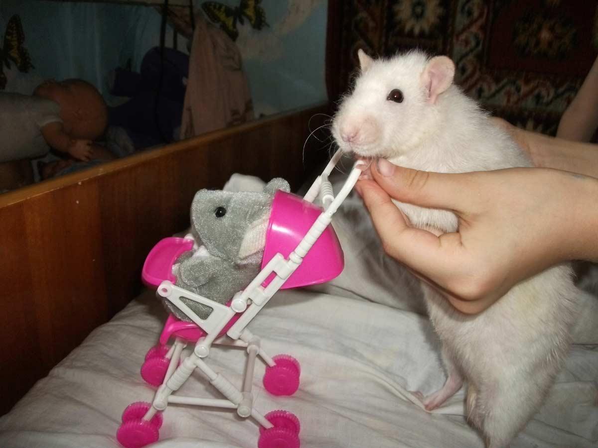 Фото домашней крысы