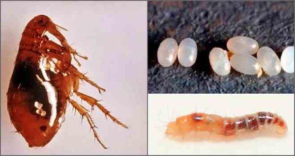 Личинки неспособны питаться кровью