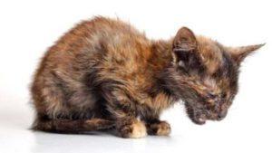 Если котенок умирает от чумки