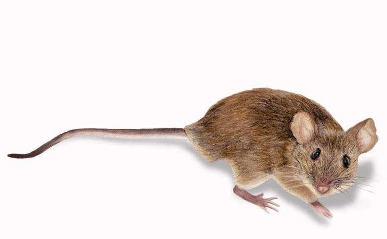 К чему приснилась мышь