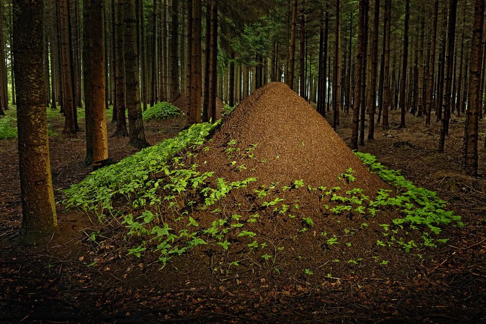 Колония муравьев в лесу