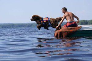 ньюфаундленд спасатель на воде