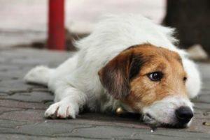 симптомы заражения собаки глистами