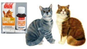 Пожилому коту-шотландцу помог стоп цистит, улучшения – на второй день