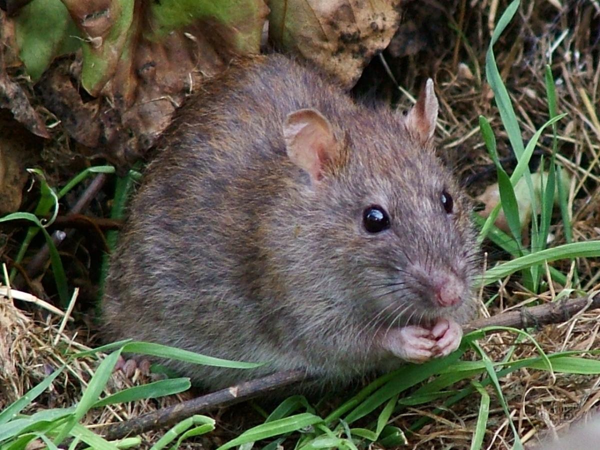 Внешний вид земляной крысы