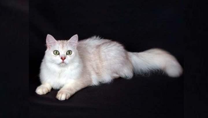 Длинношерстная бурмилла – порода кошек, выведенная в 1980-х годах
