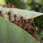 Колония портных муравьев в лесу