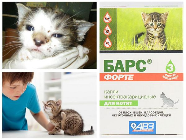 Капли Барс Форте избавят котенка от блох