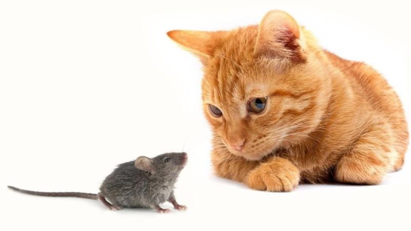 Кошка и мышь рядом