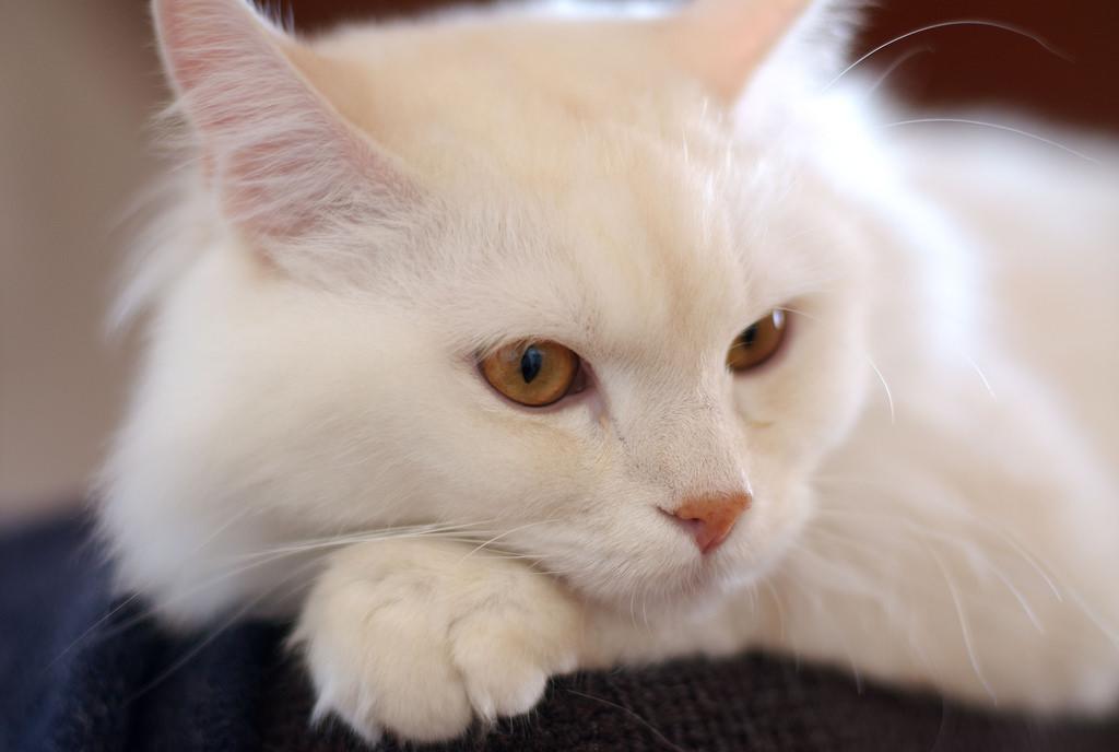Красивая кошка турецкая ангора