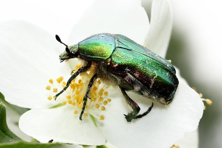 Разновидности майских жуков