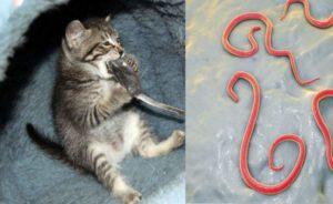 Что делать, если у котенка глисты?