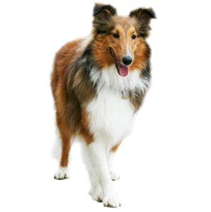 процесс течки у стерилизованной собаки