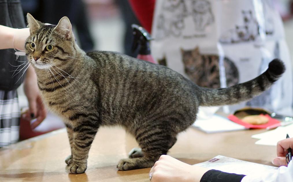Фото кота европейского табби