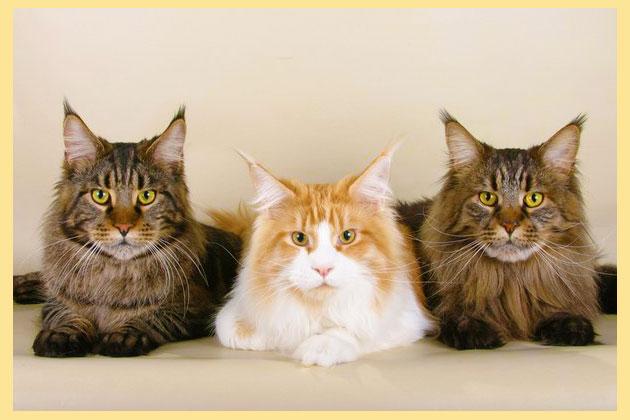 Кошки мейн кун