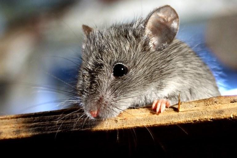 Как понять значение сна про мышей